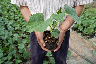 栽培された作物